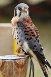 Kestrel americano maschio Fotografie Stock
