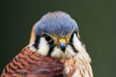 Kestrel americano (sparverius del falco) immagini stock
