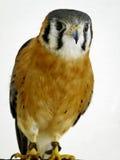 kestrel amerykański ptasi zdobycz Fotografia Royalty Free