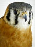 kestrel amerykański ptasi zdobycz Zdjęcia Stock
