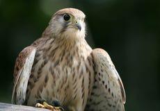 Kestrel- bird  portrait. Kestrel portrait on natural background Royalty Free Stock Photos
