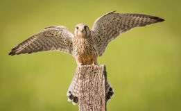 Kestrel bird on post Royalty Free Stock Images
