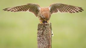 Kestrel bird on post Stock Images