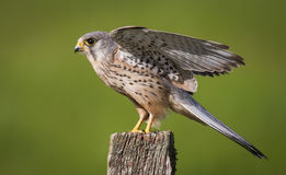 Kestrel bird on post Stock Images