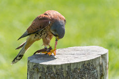 Kestrel, bird of prey Royalty Free Stock Photo