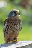 Kestrel, bird of prey Stock Images