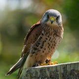 Kestrel, bird of prey Royalty Free Stock Images