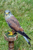 Kestrel - bird of prey - side on full portrait Stock Image