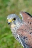 Kestrel - bird of prey - side on portrait Stock Photo