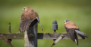 Kestrel birds on post Stock Image