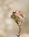 Kestrel on the branch Royalty Free Stock Image