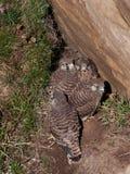 Kestrel Chicks Stock Photography