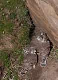 Kestrel Chicks Royalty Free Stock Photography