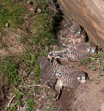Kestrel Chicks Royalty Free Stock Image