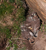 Kestrel Chicks Royalty Free Stock Photos
