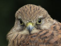 Kestrel Stock Images