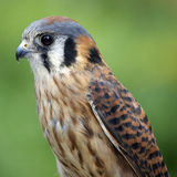 Kestrel (Close Up). An American Kestrel (Falco sparverius) in profile (close up&#x29 Stock Image