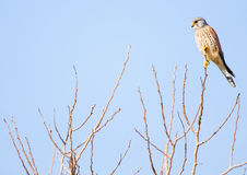 Kestrel common Stock Photos