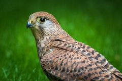 Kestrel stock photos