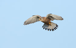 Kestrel. Common Kestrel flying in the sky Stock Photos