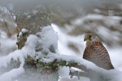 Kestrel comum no inverno Imagem de Stock
