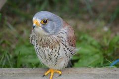Kestrel comum - tinnunculus do Falco Fotografia de Stock