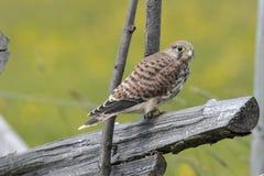 Kestrel comum (tinnunculus do Falco) Fotografia de Stock