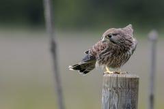 Kestrel comum (tinnunculus do Falco) Fotos de Stock Royalty Free