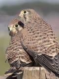 Kestrel comum (tinnunculus do Falco) Fotos de Stock