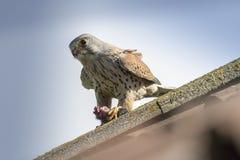 Kestrel comum (tinnunculus do Falco) Imagem de Stock