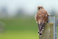 Kestrel comune (tinnunculus del Falco) Fotografie Stock Libere da Diritti