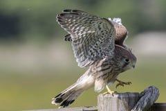 Kestrel comune (tinnunculus del Falco) Immagini Stock Libere da Diritti