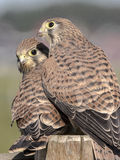 Kestrel comune (tinnunculus del Falco) Fotografie Stock