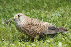 Kestrel_Falco Images stock