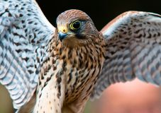 Kestrel 'Falco tinnunculus' Royalty Free Stock Image