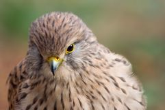 Kestrel - Falco tinnunculus Royalty Free Stock Photo