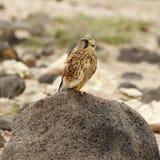 Kestrel (Falco tinnunculus) lizenzfreie stockbilder