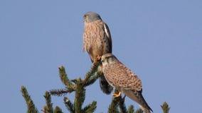 Kestrel, Falco tinnunculus zbiory wideo
