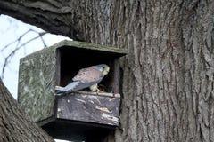 Kestrel, Falco tinnunculus Obrazy Royalty Free