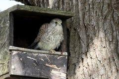 Kestrel, Falco tinnunculus Obraz Stock