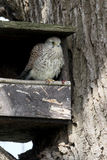 Kestrel, Falco tinnunculus Fotografia Stock