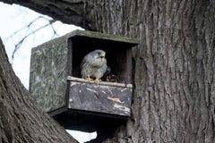 Kestrel, Falco tinnunculus Fotografia Royalty Free