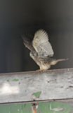 Kestrel Falco tinnunculus baby stretching its wings in a barn in the last of the day`s light. Royalty Free Stock Image