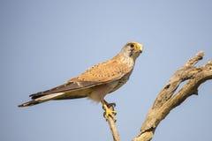 Kestrel, Falco tinnunculus. Bird of prey. Falco tinnunculus, the Kestrel is a small bird of prey stock image