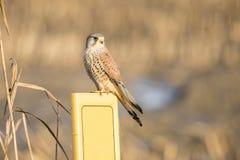 Kestrel, Falco tinnunculus. Bird of prey. Falco tinnunculus, the Kestrel is a small bird of prey stock photos