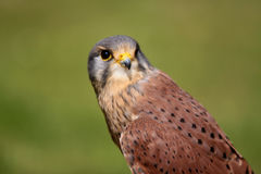Kestrel (Falco tinnunculus) Royalty Free Stock Photography