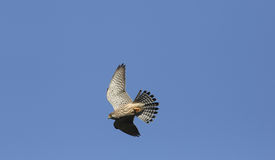 A Kestrel Falco tinnunculus in flight hunting for food. Royalty Free Stock Images