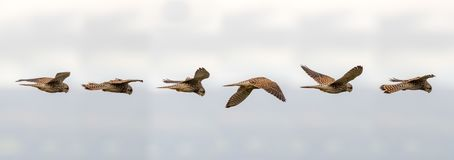 Kestrel & x28;Falco tinnunculus& x29; hovering in flight. Composite of postions of bird scanning for prey whilst maintaining static relative to the Stock Image