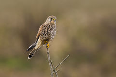 Kestrel falco tinnunculus hunting Stock Images