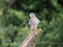 Kestrel, Falco tinnunculus royalty free stock photography